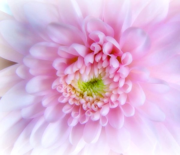 Soft Pink Chrysanthemum : A pretty pink chrysanthemum, taken with a soft focus.