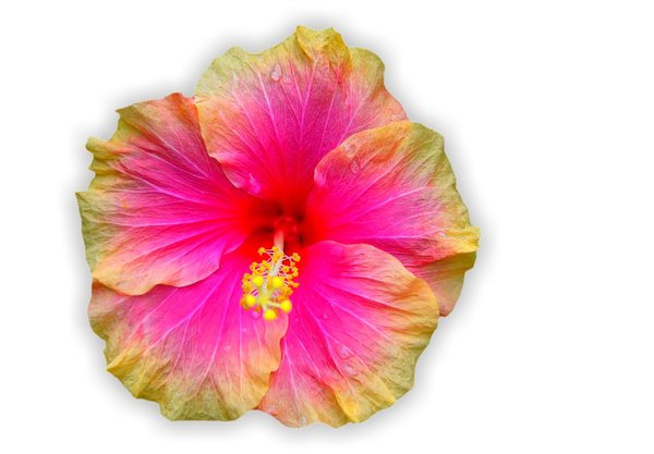Hibiscus Bi-colour on White: Pink and yellow hibiscus cut out on a white background. I found this growing in a park in Brisbane, and thought it was so pretty. I didn't notice the raindrops until later.