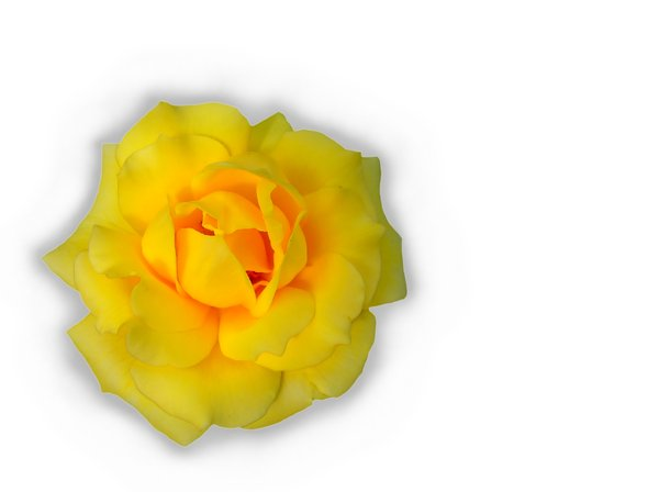 Rose 3: Blousy, beautiful yellow rose on a white background.