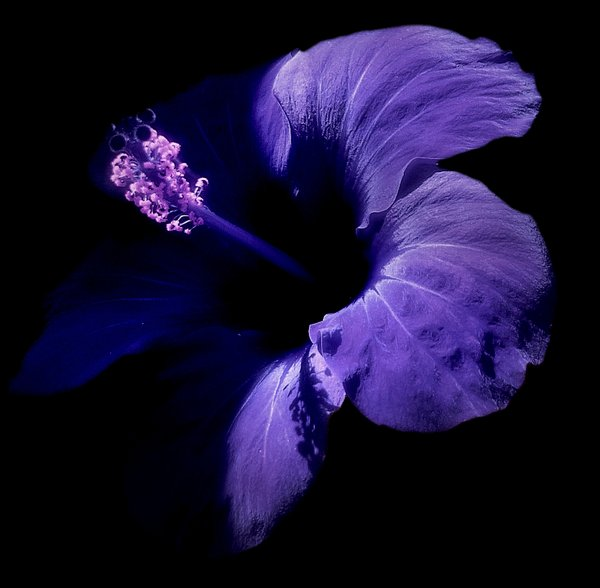 Hibiscus - Duotone: Hibiscus edited in purple colours.
