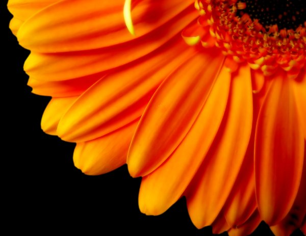 Gerbera Daisy Quarter - Orange: Part of an orange gerbera daisy, edited to remove blemishes. Striking image for advertisements.