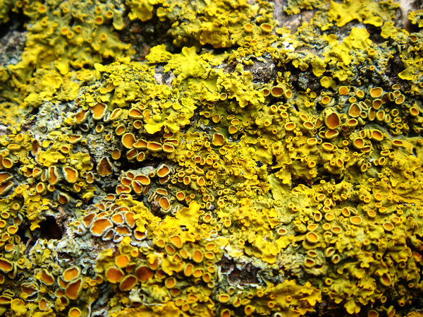 Lichen: Lichen texture found on a tree.