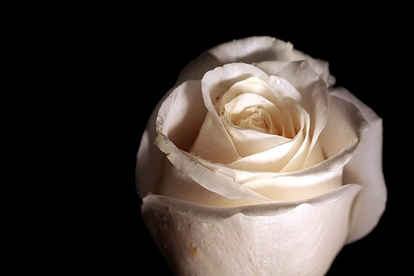 White rose 1: White rose