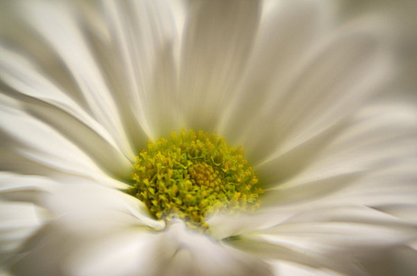 Dreamy Daisy: Soft focus, macro shot of a daisy.