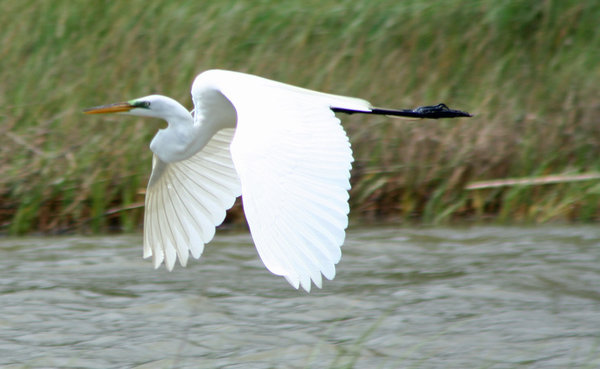 Snowy White Egret: Egret crossing a Texas coastal area bayou