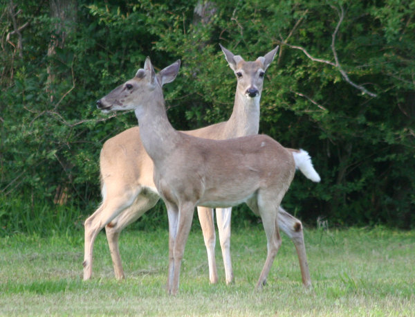 Twin Deer: These two deer were standing next to each other.  Notice they have stubs growing for their horns.