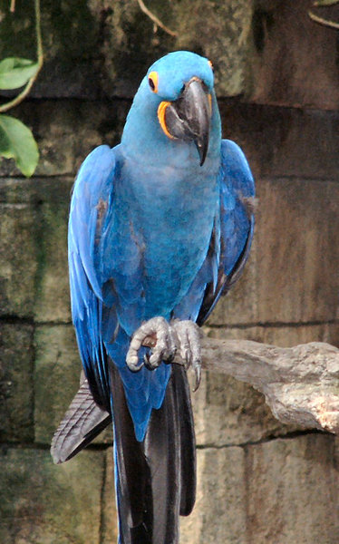 Blue bird: blue bird at Moody Gardens, Galveston, Texas