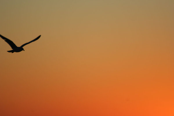 Silhouette of Seagull: Silhouette of seagull flying into the rising sun