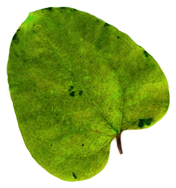 Leaf 3: Variations on a leaf.Please visit my stockxpert gallery:http://www.stockxpert.com ..