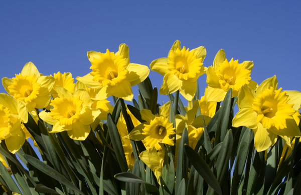 Daffodils: Yellow daffodils isolated against a blue sky.