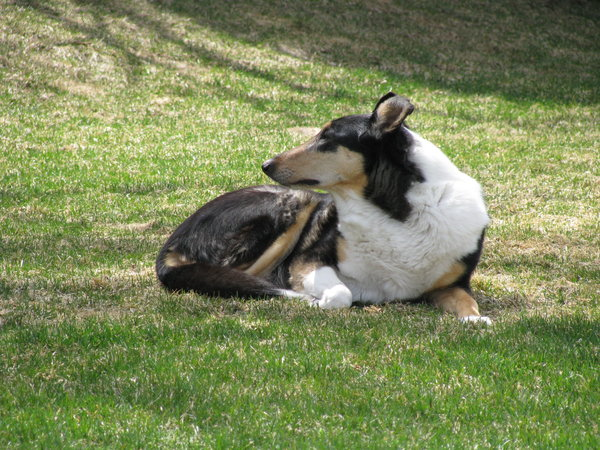 Smooth Collie: My dog Willow the smooth collie. Yeah, if you look closely, you can see that her ears flip backwards rather than forwards. We call her the Lady of the Lawn!Aw, poor buddy! We just had to put her down yesterday. I'll miss you, Willow!