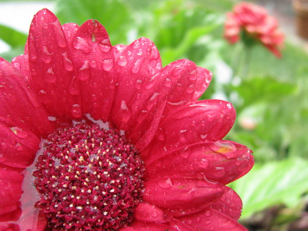 Garden 2: Gerber Daisies. (Don't call me on the spelling.)