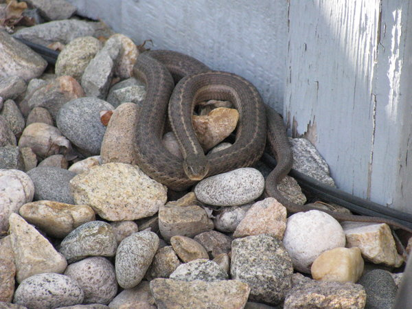 snake 1: A garden snake in my backyard. It was one of four that I saw out there today.