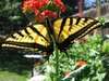 Swallowtail 6