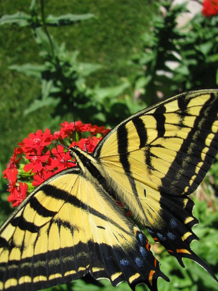 Flying Flower 4: I was lucky to catch this butterfly in our garden today. After having taken Entomology, this is definitely a Two-Tailed-Swallowtail.