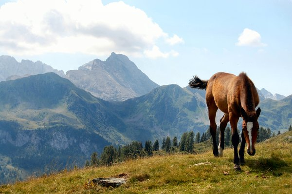 Pony on Austrian mountain: A pony grazing on an Austrian mountain