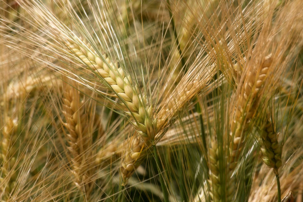 Wheat: taken in the local wheat field just before Harvest!