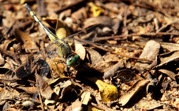 Dragon fly: This dragonfly was cleaverly camouflaged against the twigs and leaves. It was about an inch in size and I was lucky to spot it before it setted down on those twigs. Had i been late, I'd have missed it completely.