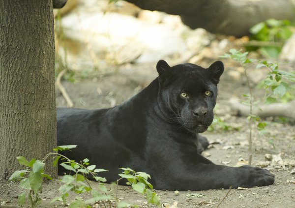 Black jaguar in rest: Black coloured version of Jaguar resting in shadowed place