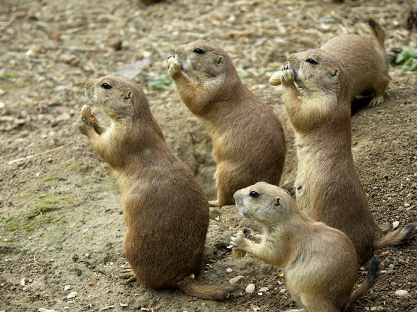 Prairie dog's group: small group of prairie dogs eating nuts