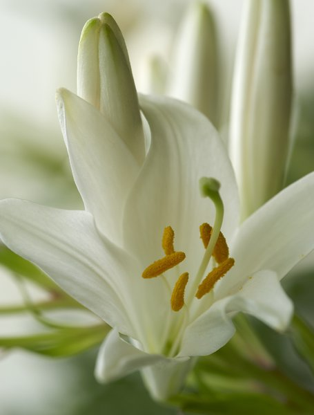 White lily flower: close up of a White lily flower