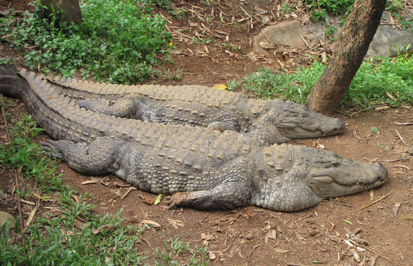 Marsh Crocodile: Marsh Crocodiles resting at the Pilikula Nisargadhama, Mangalore.