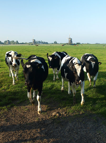 Cow: Dutch landscape