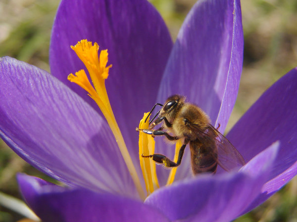 bee on crocus 1: hard working bee on a violet crocus