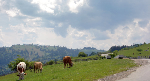 3 cows: cows on highland Romania