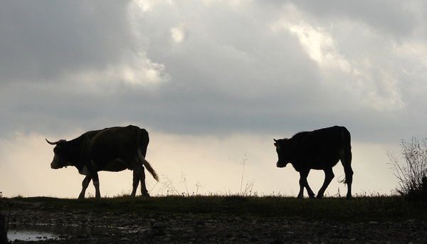 milk way part01 5: cows in the Carpathians, Romania