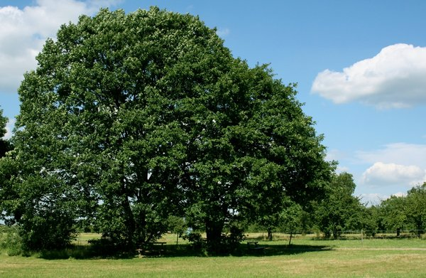 oak tree in summer: I watch an old oak tree under the seasons (see picture 1001434)