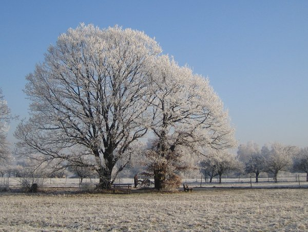 winter oak: I watch an old oak tree under the seasons (See pictures Nr. 1001434 and 103 5505 and  1100532)