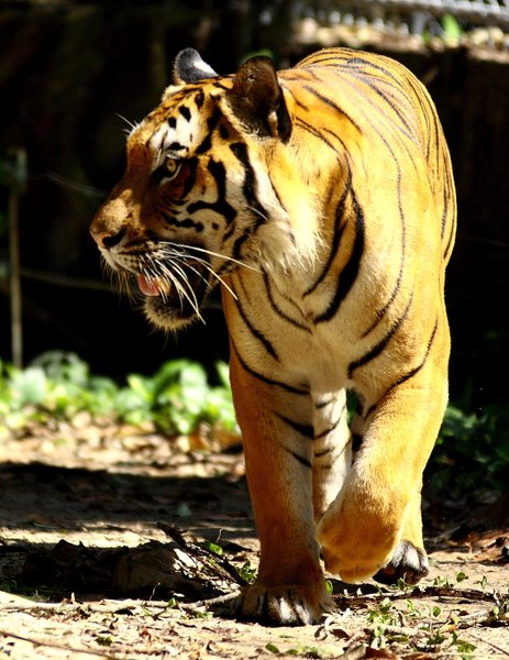 Big Cat Series 2: Snapshots of a Sumatran tiger at the local zoo