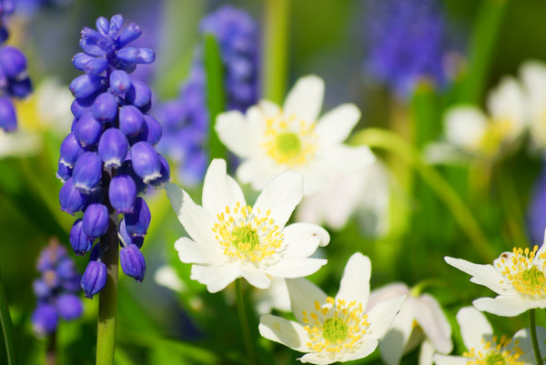 Spring flowers 2: Grape hyacinth and Wood anemomes, spring 2008