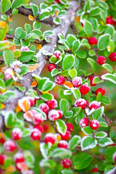 Frosty red berries 1: Garden bush in winter frost