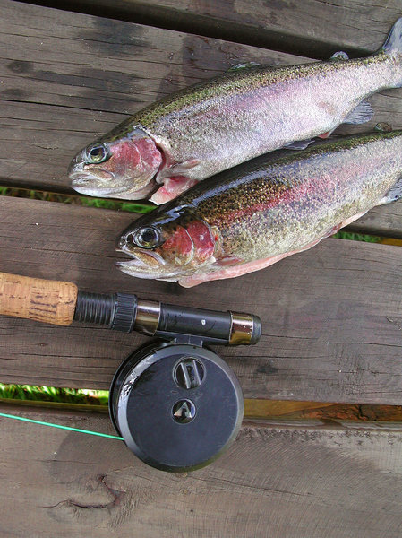 Two Trout: 2 rainbow trout and fly reel.NB: Credit to read