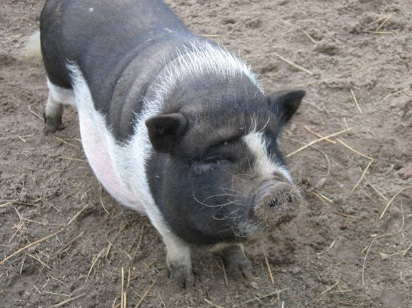 pot-bellied pig: pot-bellied pig
