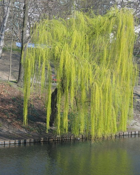 weeping willow at a lake: weeping willow at a lake