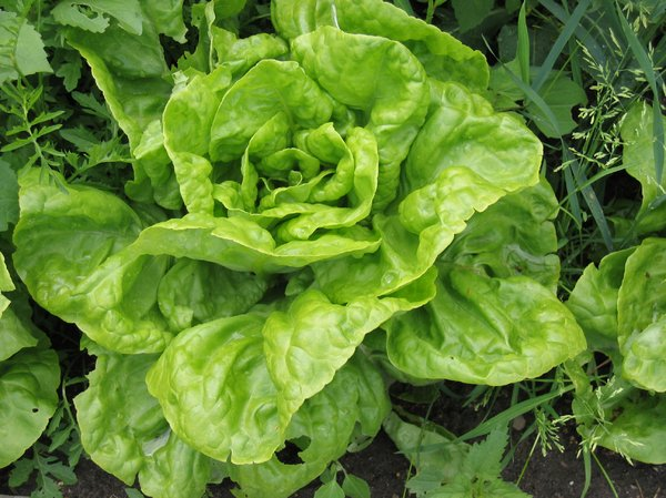 lettuce on a field: lettuce on a field
