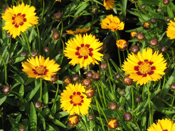 largeflowered tickseed: largeflowered tickseed - aka coreopsis grandiflora heliot