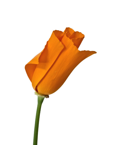 Real California Poppy: A California poppy taken from the garden and photographed indoors isolated on white.