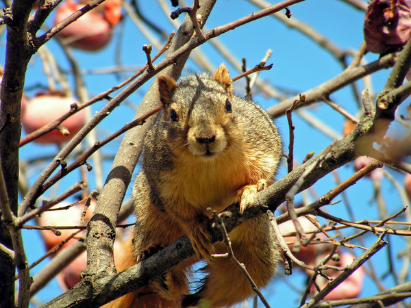Squirrel: A squirrel in a persimmon tree