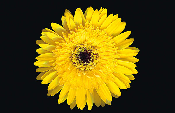 Gerbera Flower: Yellow Gerbera Flower