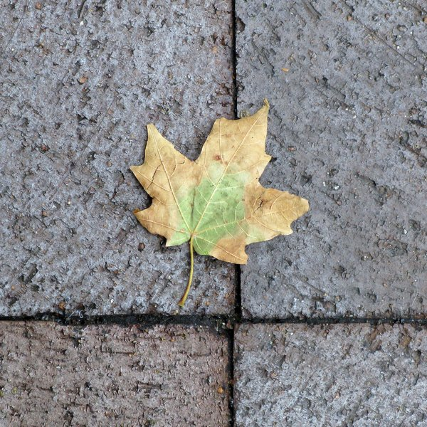 Maple Leaf: Maple leaf on the sidewalk.