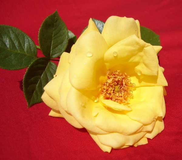 Yellow rose: Fresh yellow roses from my garden