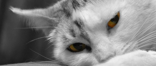 Yellow eyes cat 2: Yellow eyes cat close up
