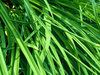 Tall grass