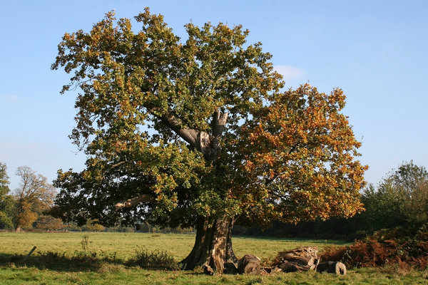 Squat tree: A squat oak (Quercus robur) tree in West Sussex, England, in autumn.