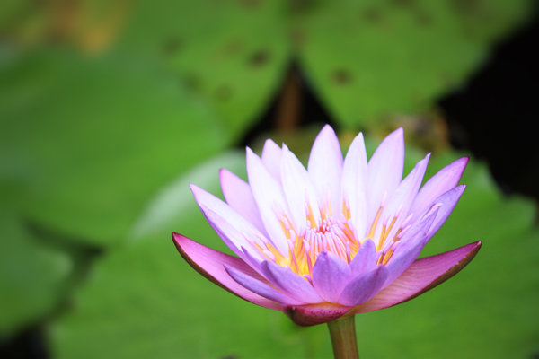 Water Lily: Lotus or water lily growing out of a pond