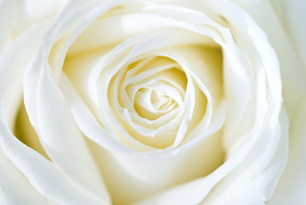 White rose: delicate white rose